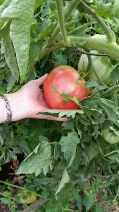 Non-Profit Garden to Feed Homeless in Longmont, CO. Gardened by Hope & Hoes