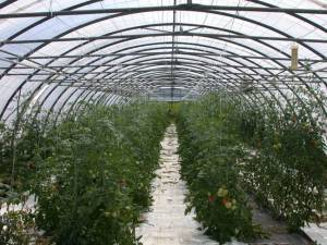 Greenhouse without Agro Biosol® Strong parasitic attack with emathodes Harvest only partial possible