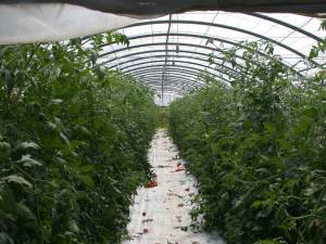 Greenhouse without Agro Biosol® Strong arasitic attack with emathodes Harvest only partial possible