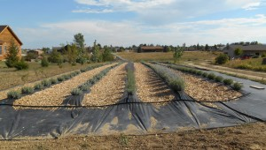 Lavender Planted With Planter's Kit - Berthoud, CO