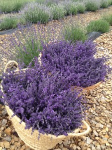 Lavender Harvest - Berthoud, CO
