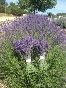 Harvest Buena Vista 7.29.15