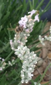 White Lavender - A Little Help From Our Pollinating Friends