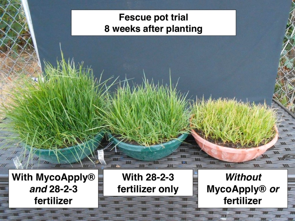 fescue-pot-trial
